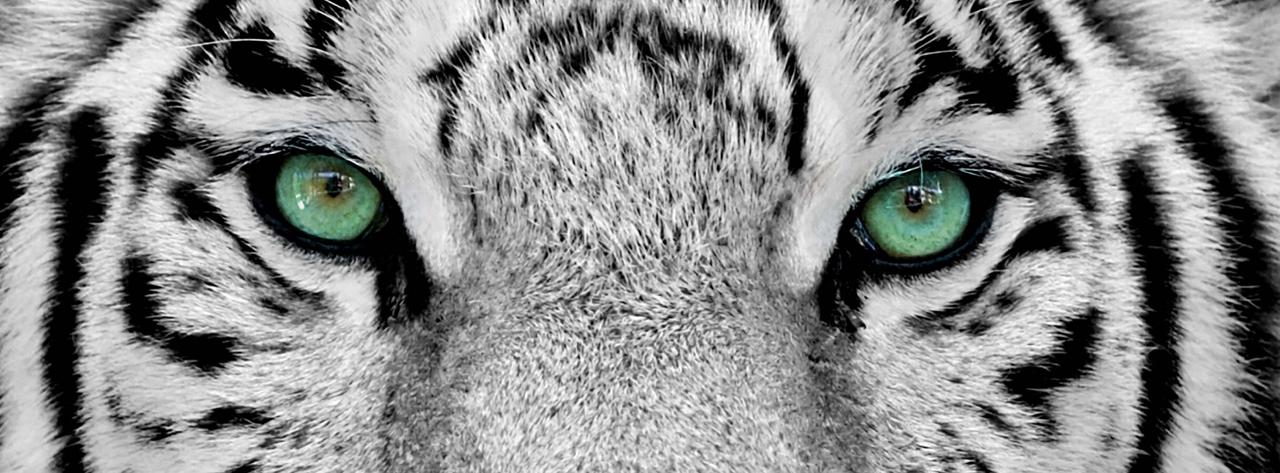 tiger-eues